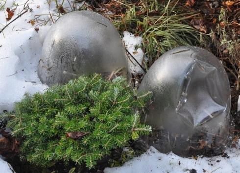 Höstkrokusen Crocus goulimyi behövde lite skydd när kylan kom.