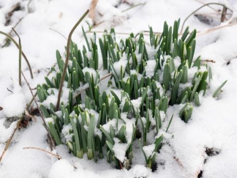 04 Galanthus, snödroppar (3 av 8) (640x481)