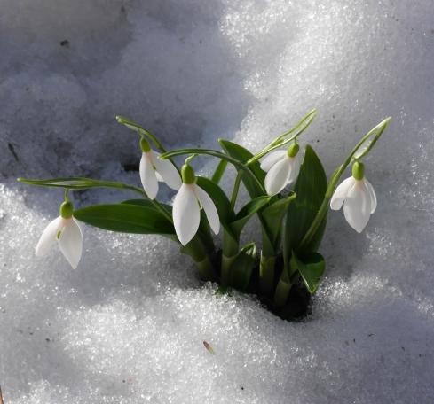 Galanthus, snödroppe (2 av 13)